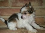 Čínský chocholatý pes – labutěnka